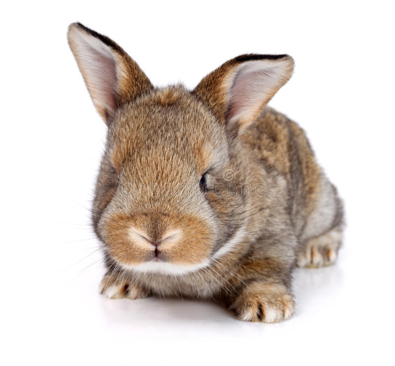 Brown baby rabbit. On white background royalty free stock photo