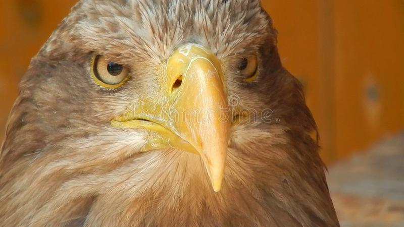 Brown Bald Eagle stock image