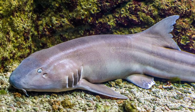 Brown banded bamboo shark in closeup, tropical fish from the indo-pacific ocean. A brown banded bamboo shark in closeup, tropical fish from the indo-pacific royalty free stock photo