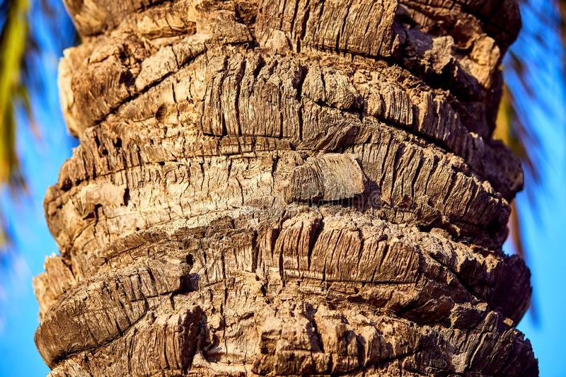 Brown bark of the palm tree . Exotic background with place for text royalty free stock image