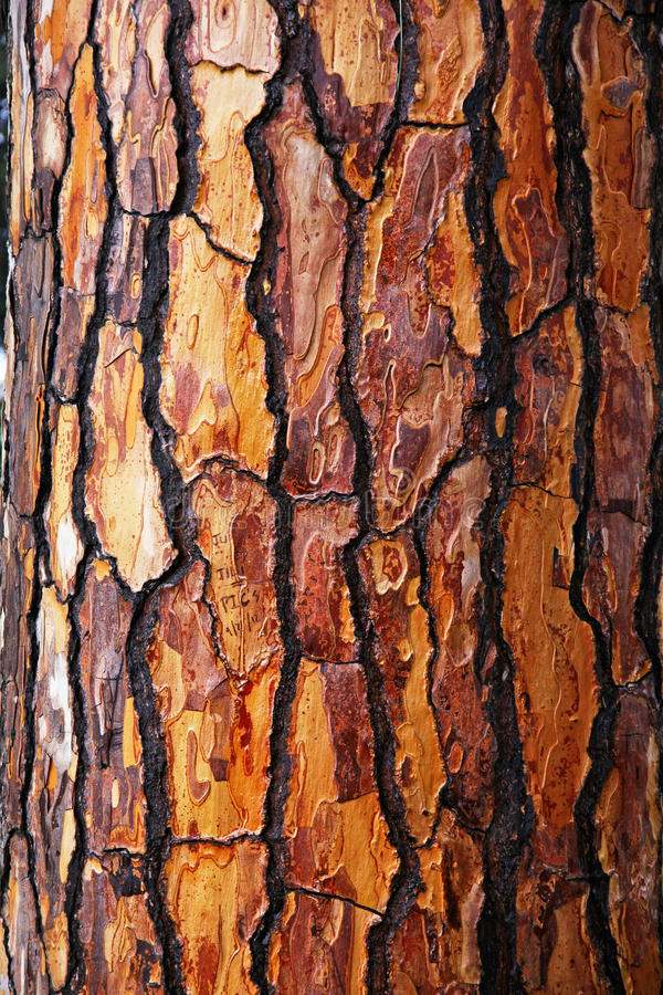 Brown bark of pine tree royalty free stock image