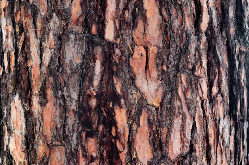 The brown bark on the trunk of pine. The brown bark on the trunk of pine, Russia stock photos