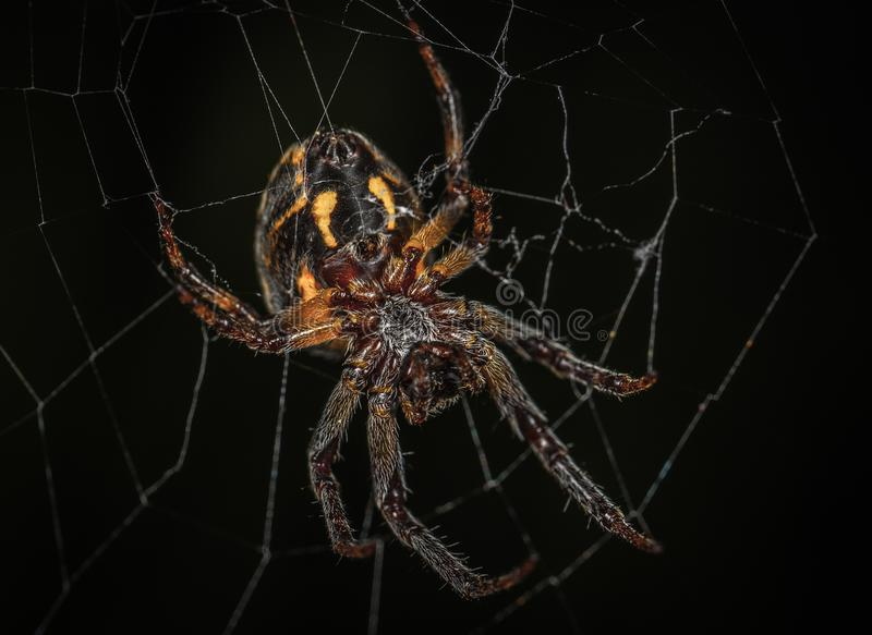 Brown Barn Spider in Closeup Photography royalty free stock photography