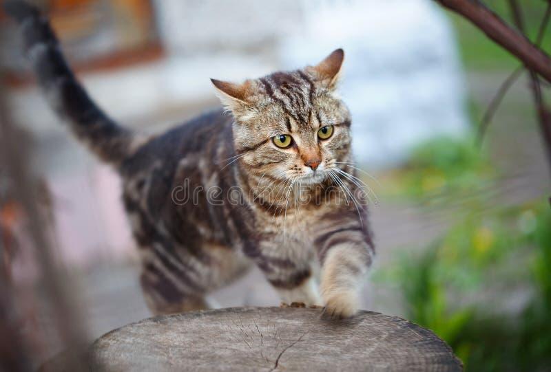 Brown barre le chaton mignon marchant sur l'herbe photographie stock libre de droits