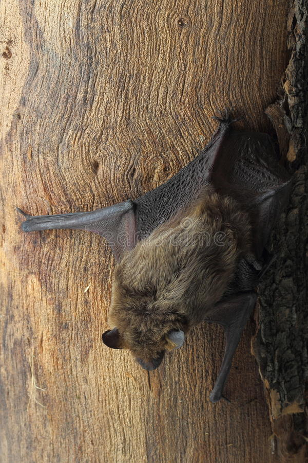 Brown bat sitting on tree trunk royalty free stock photo