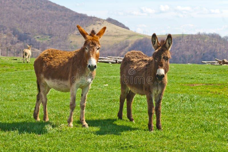 Brown-Bauernhof-Esel lizenzfreie stockfotografie