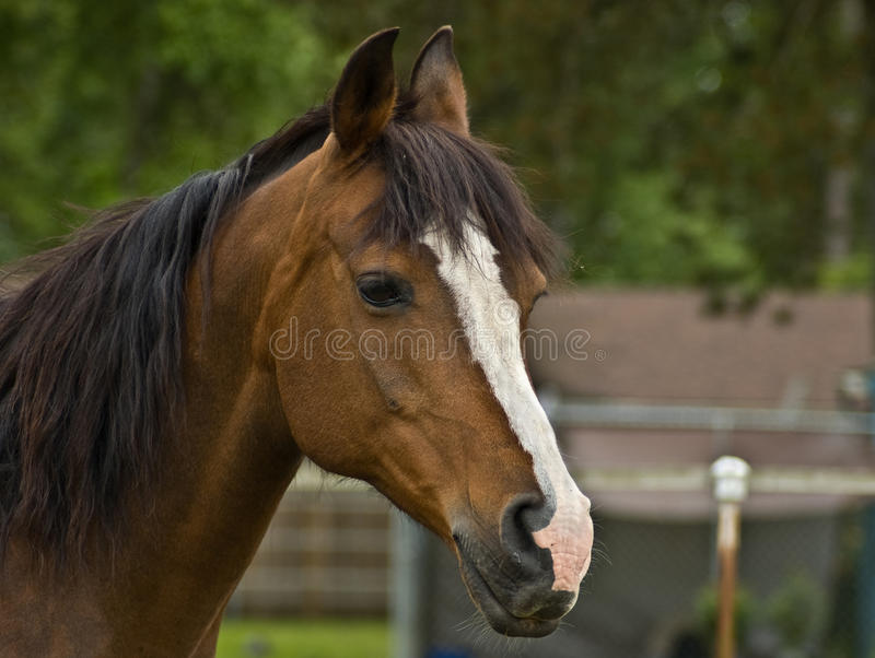 Brown Bay Quarter horse mare royalty free stock photo