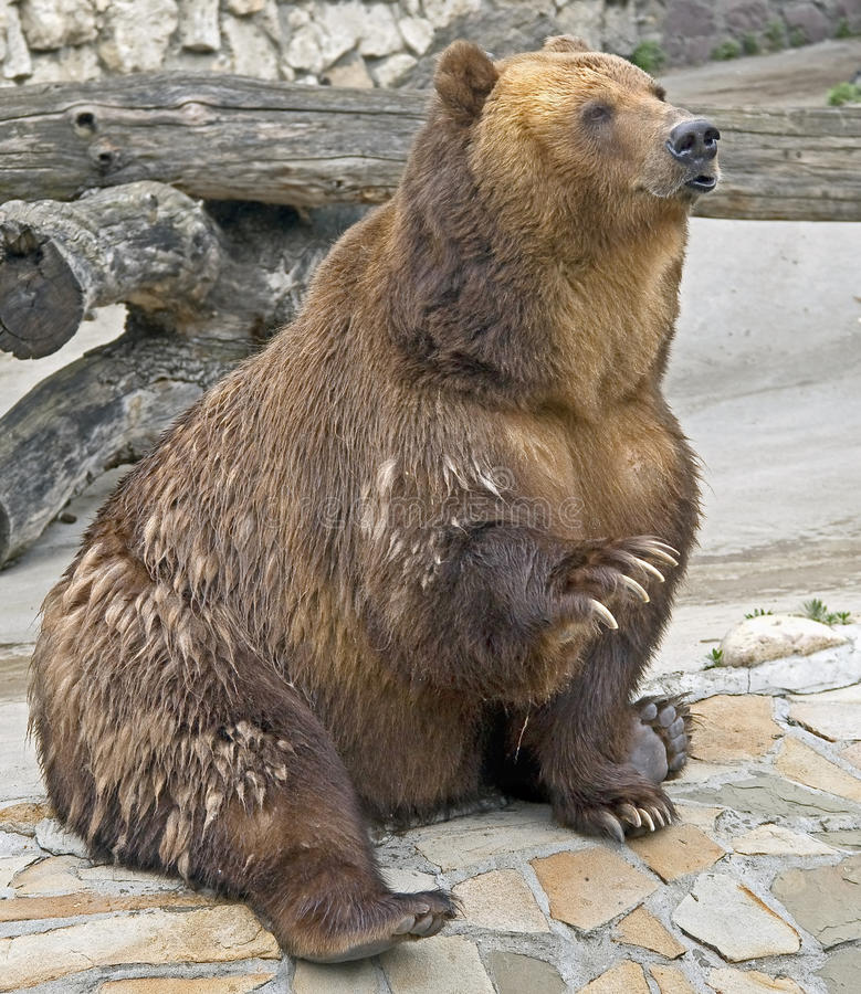 Download Brown bear 1 stock image. Image of brown, nature, zoology - 25545267