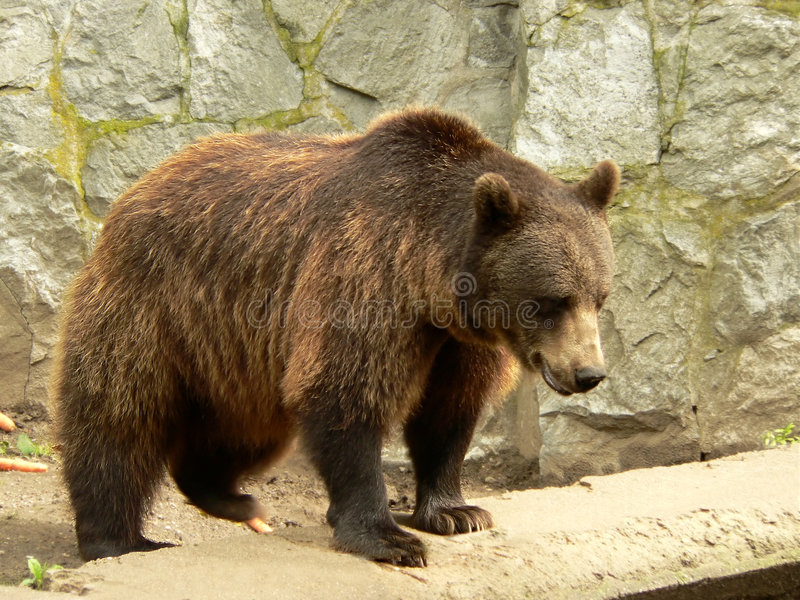 Download Brown Bear Royalty Free Stock Photography - Image: 1101327