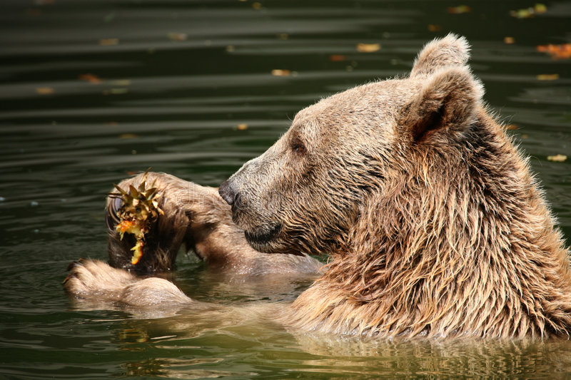 Download Brown bear stock photo. Image of bear, bathing, play, beast - 1401558