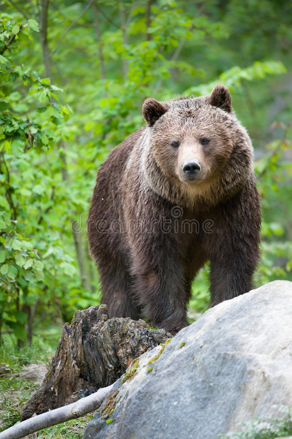 Free Brown Bear Stock Photos - 14356773