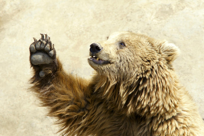 Female Brown Bear 12 Years Old Standing Stock Image Image Of Themes Copy 15126313