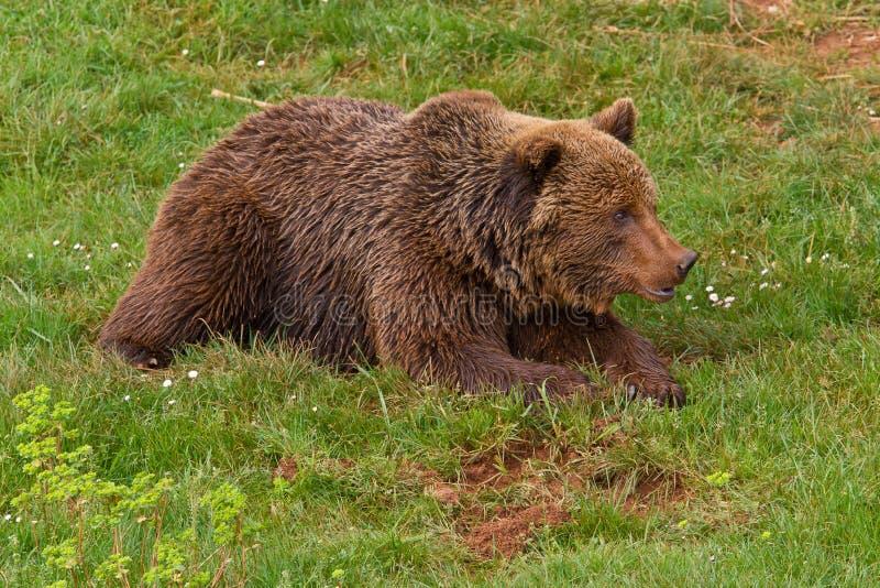Download Brown bear stock image. Image of ursus, danger, aggressive - 18918451