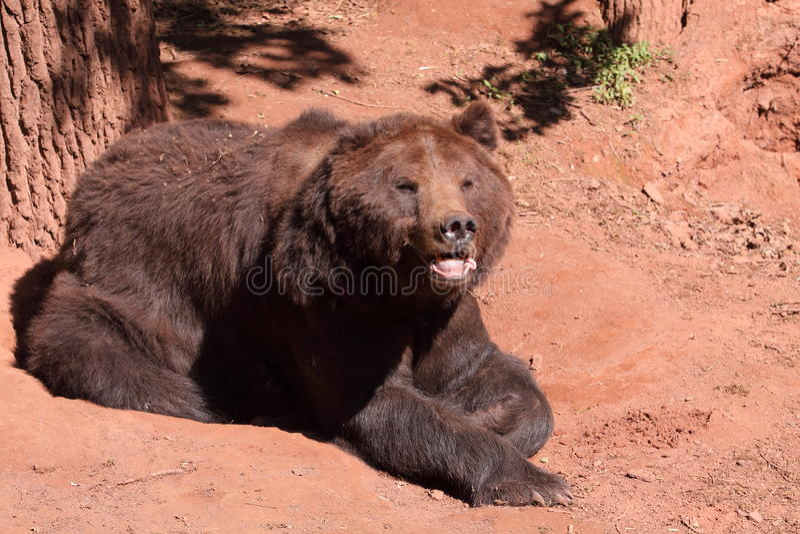 Download Brown bear stock photo. Image of wild, soil, bear, arctos - 19616278