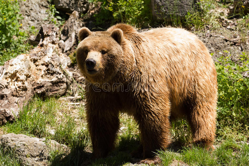 Brown Bear. A Brown Bear exploring near the edge of a lake stock images