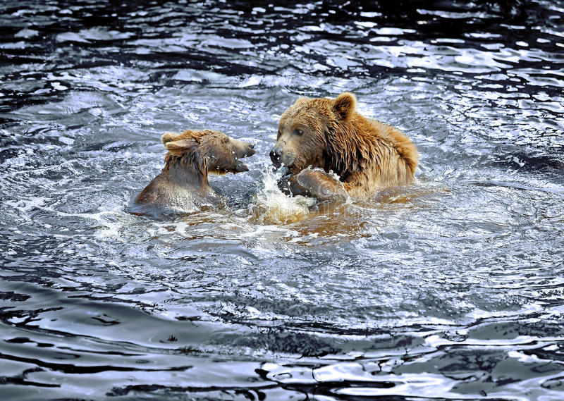 Brown bear. Mother and child bear playing in the water royalty free stock images