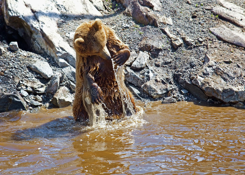 Brown bear. A brown bear washing in the waters royalty free stock photo