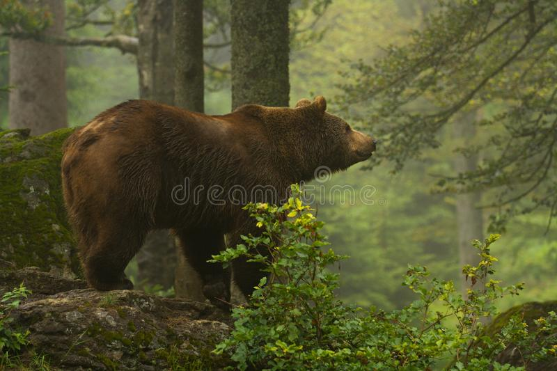 Brown bear. In Bayerischer Wald royalty free stock image