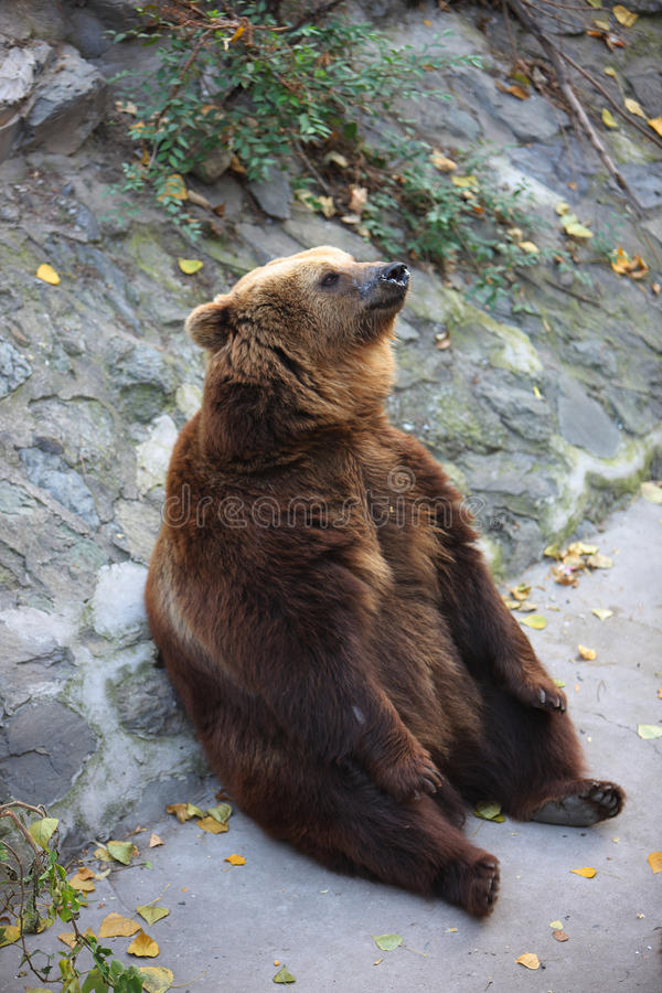 Download Brown Bear Royalty Free Stock Photography - Image: 23869747