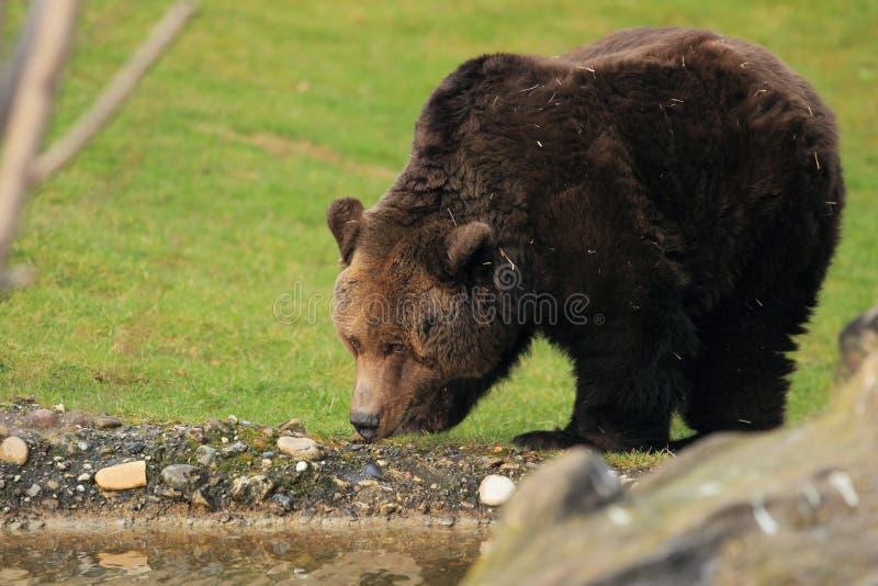 Download Brown bear stock photo. Image of strolling, mammal, animal - 24159514