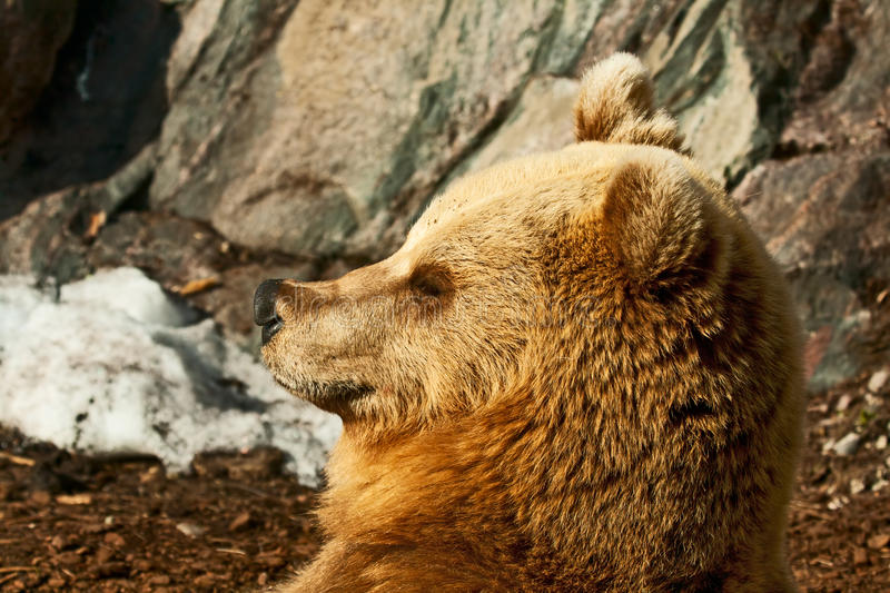 Download Brown bear stock image. Image of close, muzzle, stone - 24810017