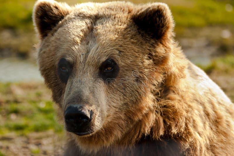Download Brown Bear stock image. Image of face, coastal, large - 25281101