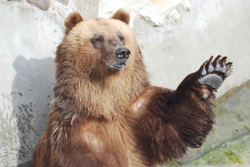The Brown Bear Royalty Free Stock Photography