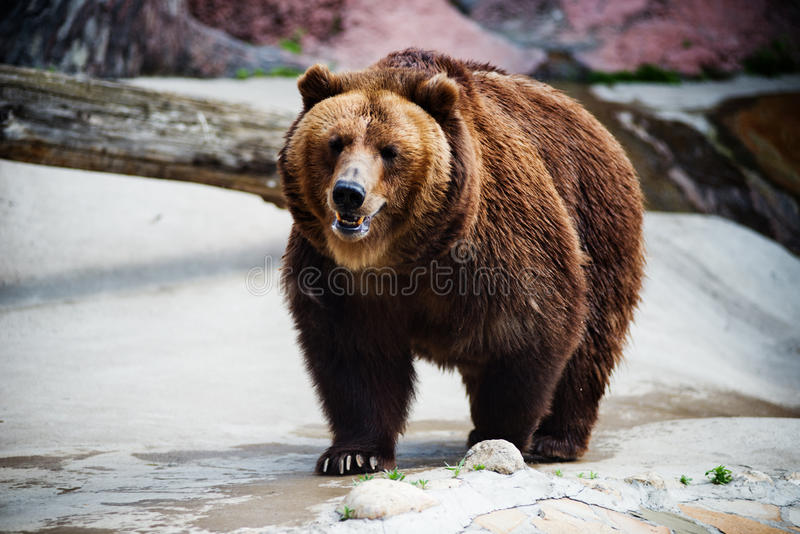 Download Brown bear stock image. Image of animal, brown, nature - 25386345
