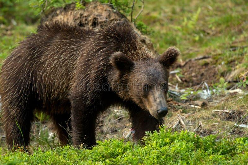 Download Brown bear stock photo. Image of arctos, danger, wood - 26066134