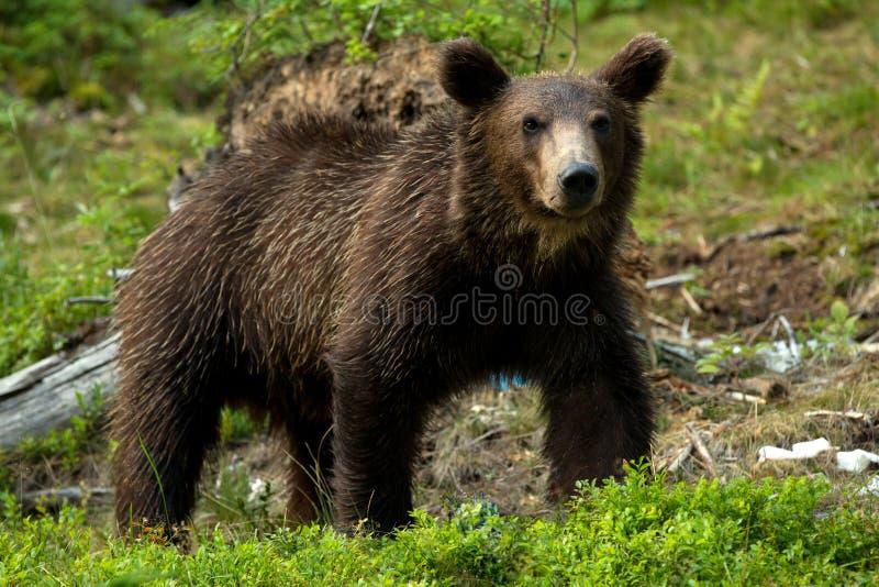 Download Brown bear stock photo. Image of wood, danger, power - 26066142