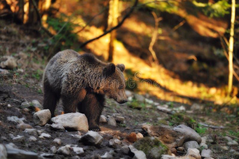 Download Brown bear stock image. Image of strength, danger, dangerous - 26315759