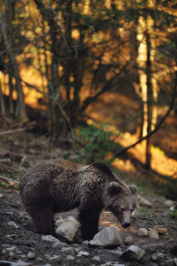 Download Brown bear stock image. Image of walking, isolated, powerful - 26315783