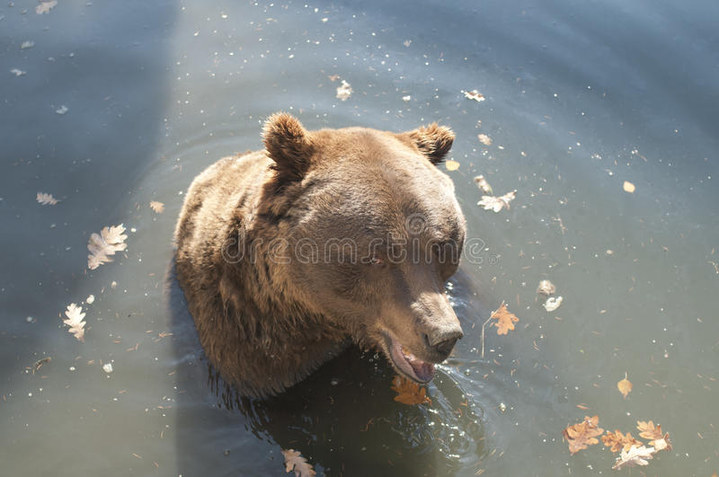 Download Brown Bear stock image. Image of wild, brown, nature - 29055159
