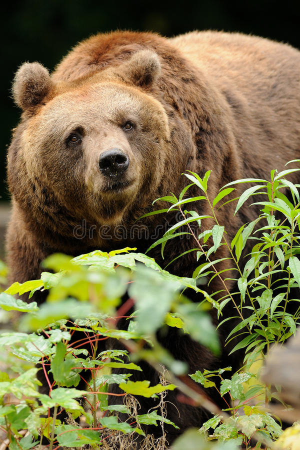Brown Bear. Thie bear behind a bush i photograph in a zoo in Germany royalty free stock photos