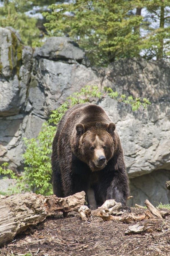 Free Brown Bear Royalty Free Stock Photo - 4990065