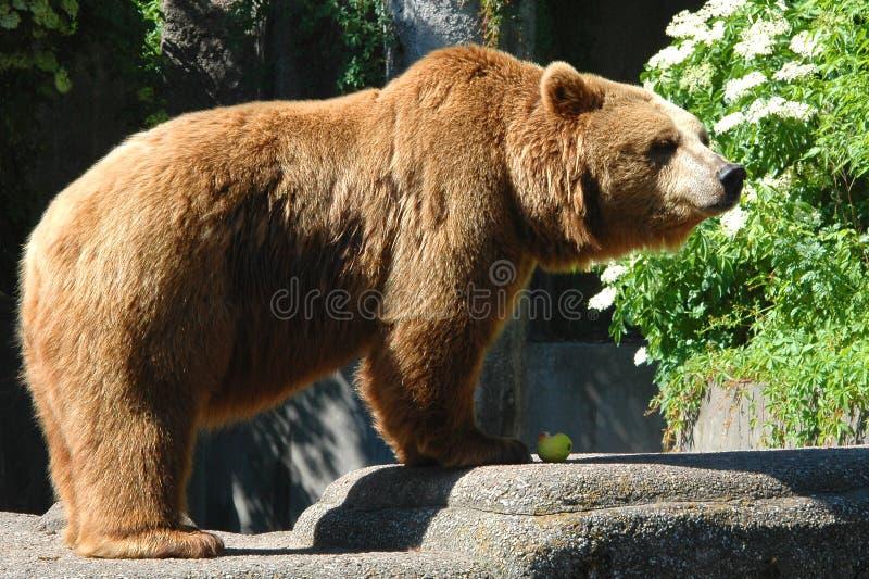 Download Brown bear stock image. Image of nature, animal, brown - 5362001
