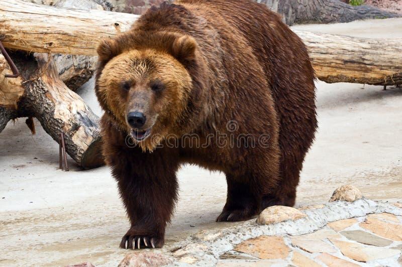 Download Brown bear stock photo. Image of large, close, predator - 5578326