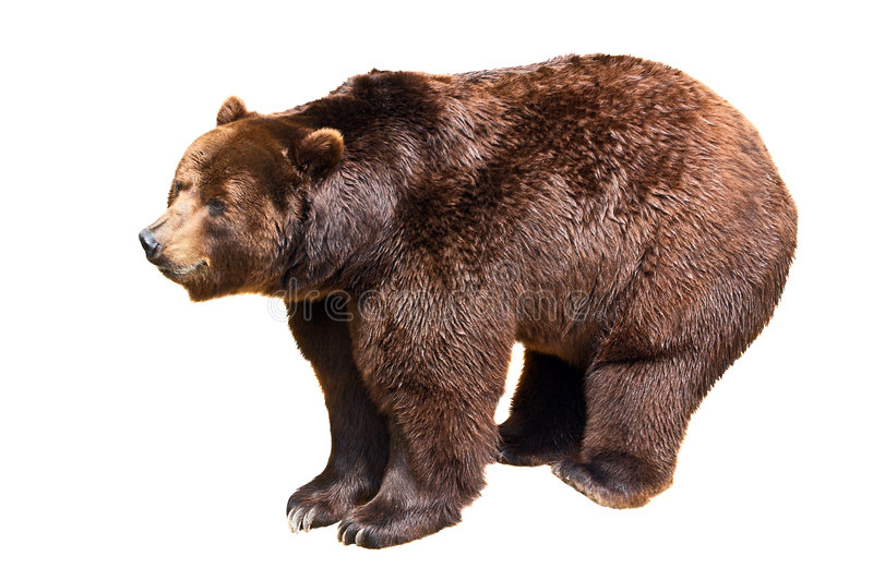 Brown bear. Isolated on white background. Ursus arctos