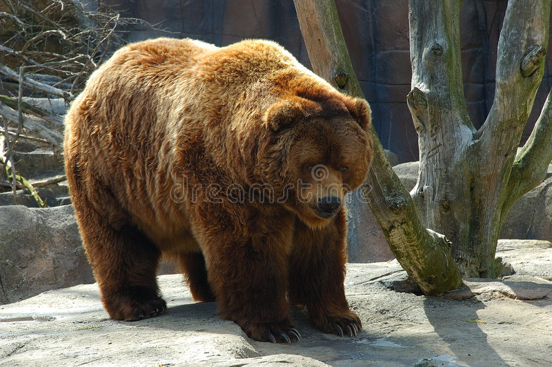 Download Brown Bear Royalty Free Stock Photo - Image: 5696455