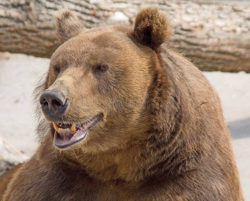 Brown bear 6 royalty free stock image