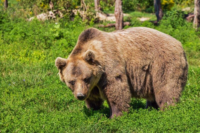 Brown Bear Free Public Domain Cc0 Image