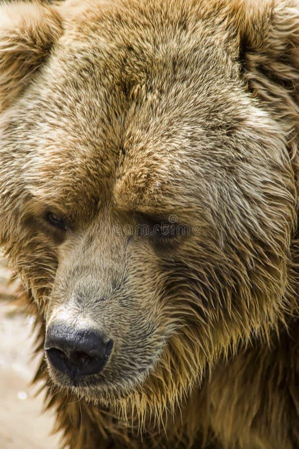 Free Brown Bear Royalty Free Stock Photos - 9910218