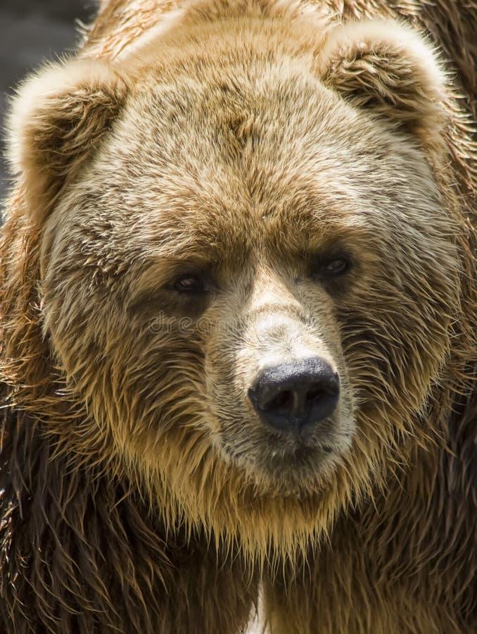 Free Brown Bear Royalty Free Stock Photos - 9910228