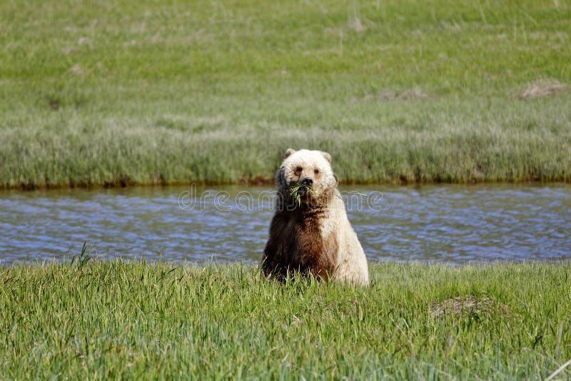 Brown Bear Alaska royalty free stock photo