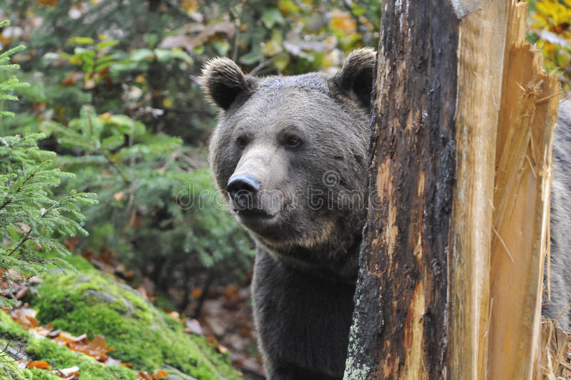 Download Brown bear stock photo. Image of habitat, leaves, forest - 34629294