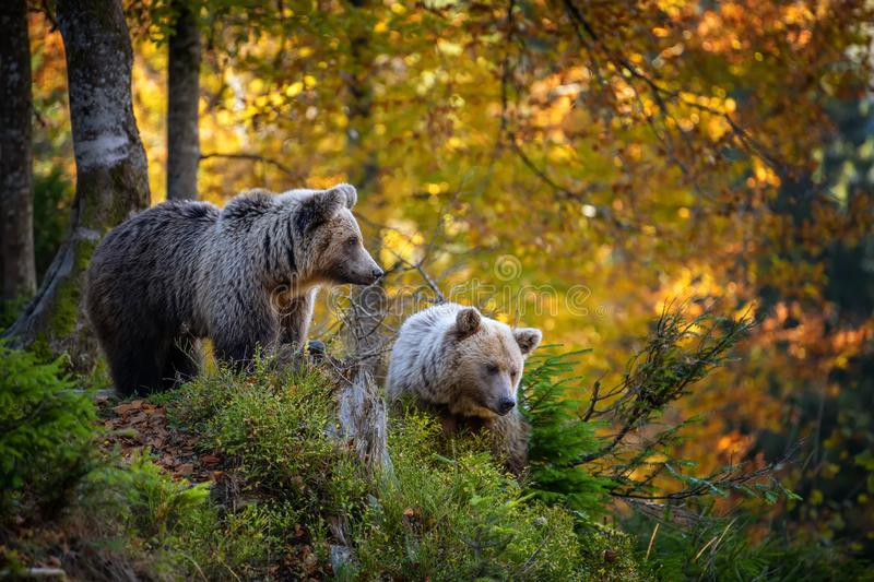Brown bear in autumn forest stock images