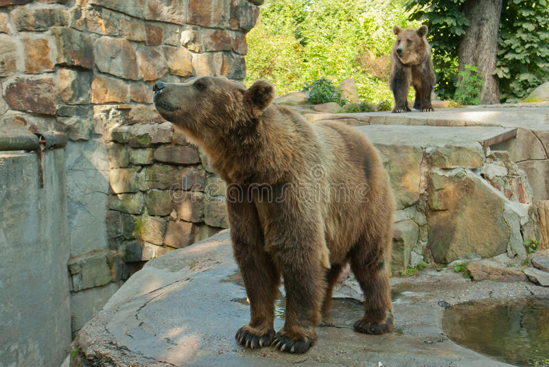 Brown bear. The big brown bear Grizzly stock images