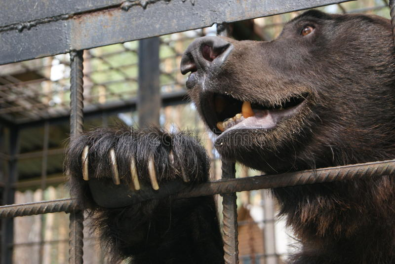 Brown Bear In Cage Stock Photo