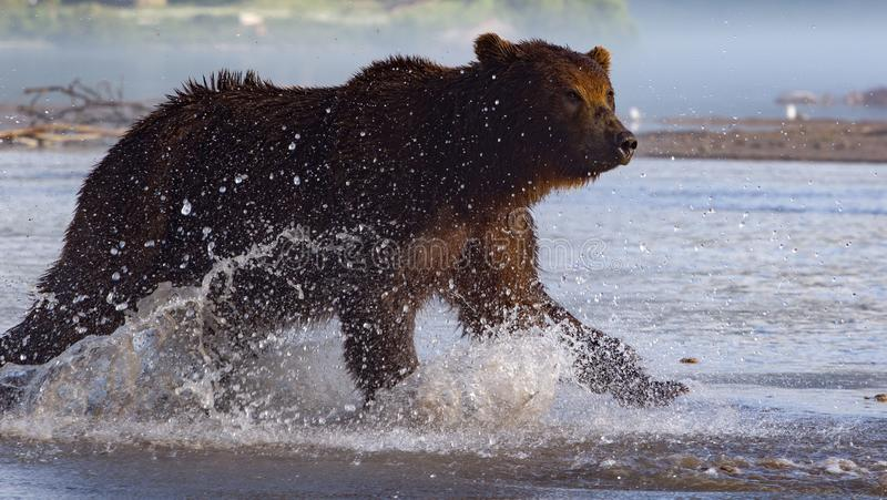 Brown bear chasing Salmon during a hunt stock image
