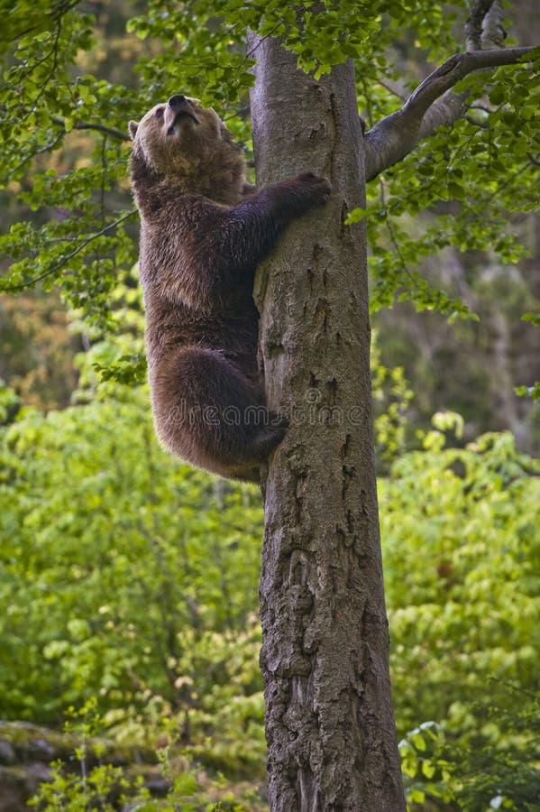 Brown Bear Climbing a Tree stock photography